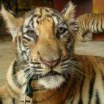 Zabiłam tygrysa?
