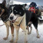 Norwegia: Tromsø – śnieżne psy w zaprzęgu