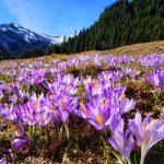 Krokusy w Tatrach – fioletowe łąki pożądania